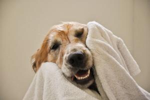 hond afdroog